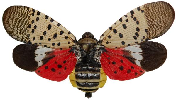 2 Spotted Lantern Fly